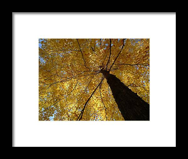 Maple Framed Print featuring the photograph Golden Canopy by Richard Reeve
