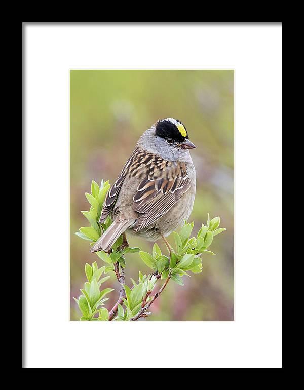 Alaska Framed Print featuring the photograph Golden-crowned Sparrow by Ken Archer