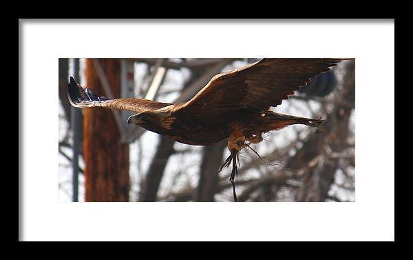 Golden Framed Print featuring the photograph Golden Eagle Close by Trent Mallett