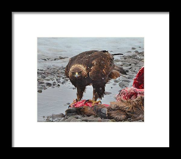 Eagle Framed Print featuring the photograph Golden Eagle On An Elk Carcass by Kevin Spriggs