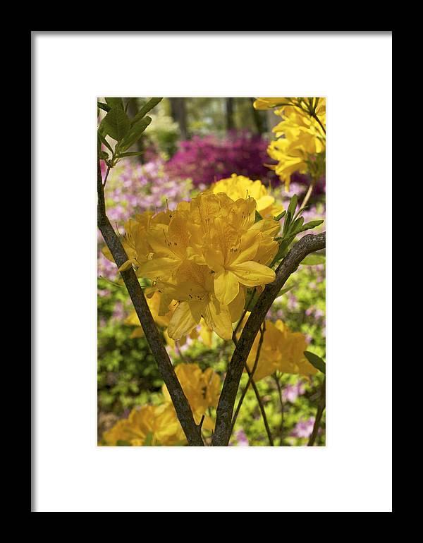 Azalea Framed Print featuring the photograph Golden Glory - Azalea by Jane Eleanor Nicholas