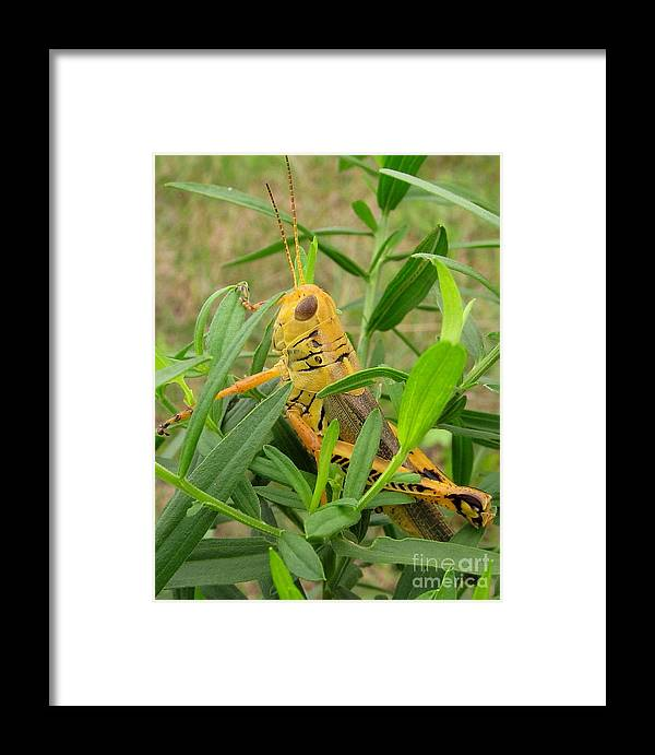 Yellow Grasshopper North American Insects North American Grasshoppers Of Maryland Entomology Natural Sounds Of The Meadow Forest Sounds Natural Orchestra Of Nature Yellow Bugs Golden Grasshopper Macro Nature Photography Framed Print featuring the photograph Golden Grasshopper by Joshua Bales