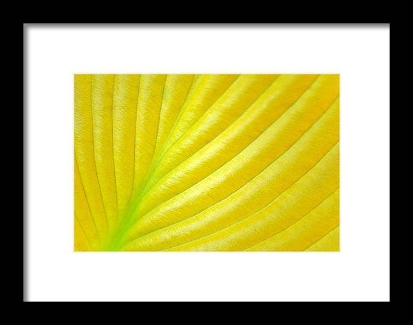 Hosta Framed Print featuring the photograph Golden by Kelly Nowak