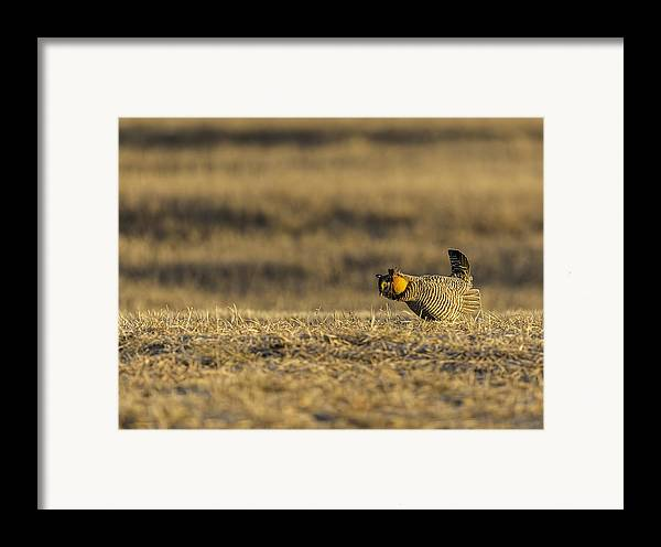 Prairie Chicken Framed Print featuring the photograph Golden Light On The Prairie by Thomas Young