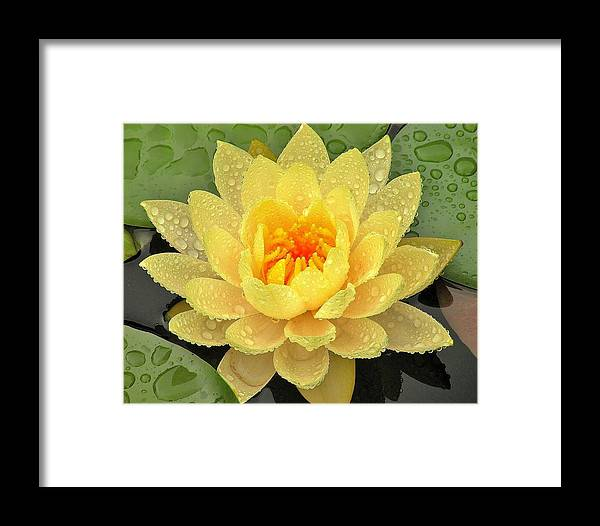 Lily Framed Print featuring the photograph Golden Lily by Kim Bemis