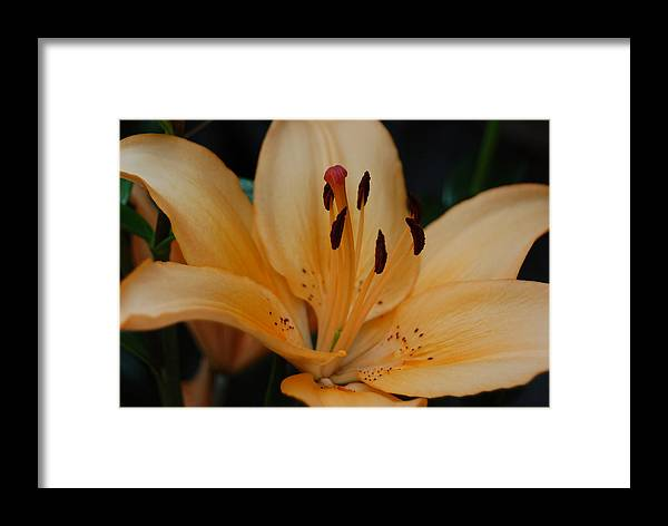 Day Lily Framed Print featuring the photograph Golden Lily by Suzanne Gaff