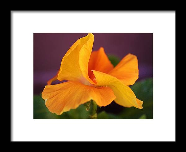 Flowers Framed Print featuring the photograph Golden Pansy by Marcia Breznay