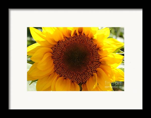 Agriculture Framed Print featuring the photograph Golden Ratio Sunflower by Kerri Mortenson