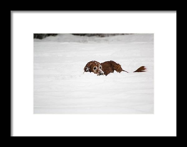 Dog Framed Print featuring the photograph Golden Retreiver Playing In The Snow by Helix Games Photography