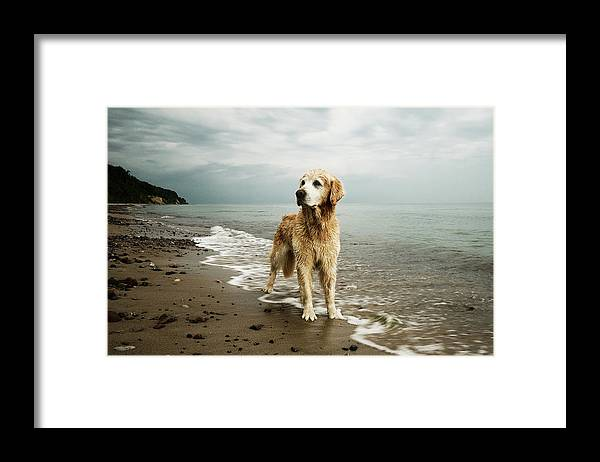 Pets Framed Print featuring the photograph Golden Retriever On Beach by Jutta Bauer