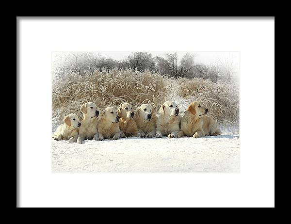 Pets Framed Print featuring the photograph Golden Retrievers by Sergey Ryumin
