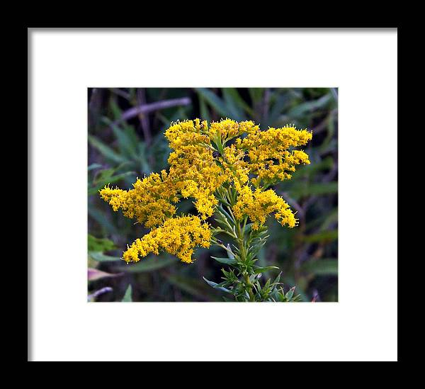 Plant Framed Print featuring the photograph Golden Rod by Michael Sokalski