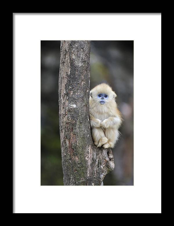 Feb0514 Framed Print featuring the photograph Golden Snub-nosed Monkey Young China by Thomas Marent