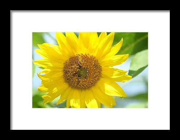 Golden Sunflower- 2013 Framed Print featuring the photograph Golden Sunflower - 2013 by Maria Urso