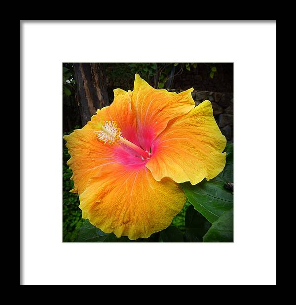 Flower Framed Print featuring the photograph Golden Sunset Hybiscus by Lori Seaman