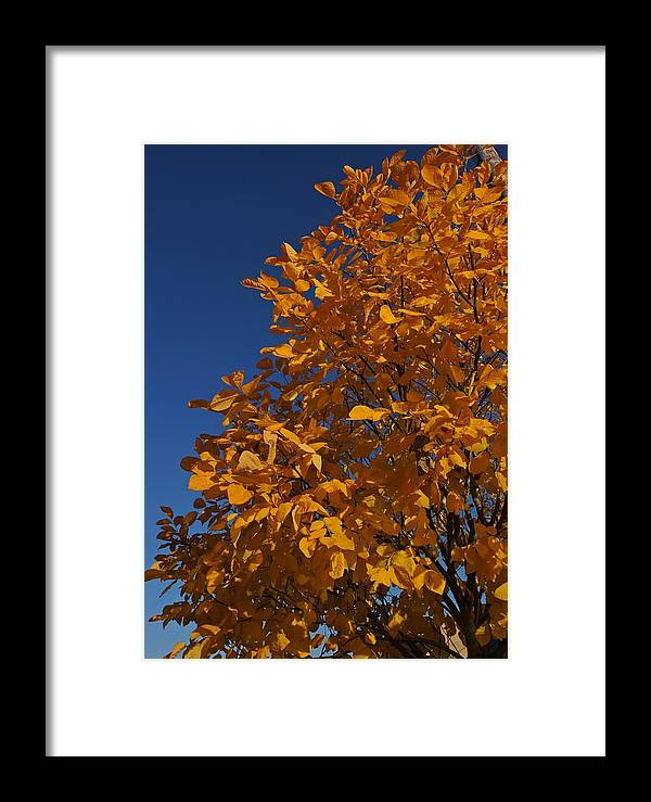 Autumn Framed Print featuring the photograph Golden Tree by Patricia Strand
