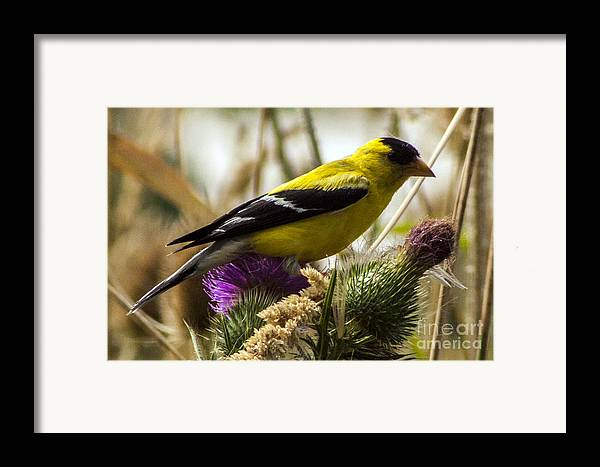 Goldfinch Framed Print featuring the photograph Goldfinch Atop A Purple Thistle by Darleen Stry