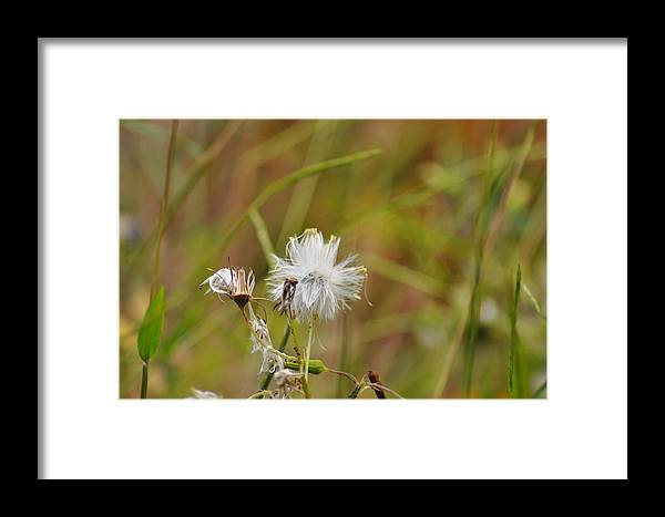 Gone To Seed Framed Print featuring the photograph Gone To Seed by Bill Cannon