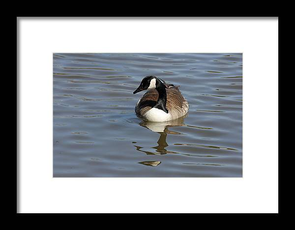 Goose Framed Print featuring the photograph Goose Reflecting by Carol-Ann Neal