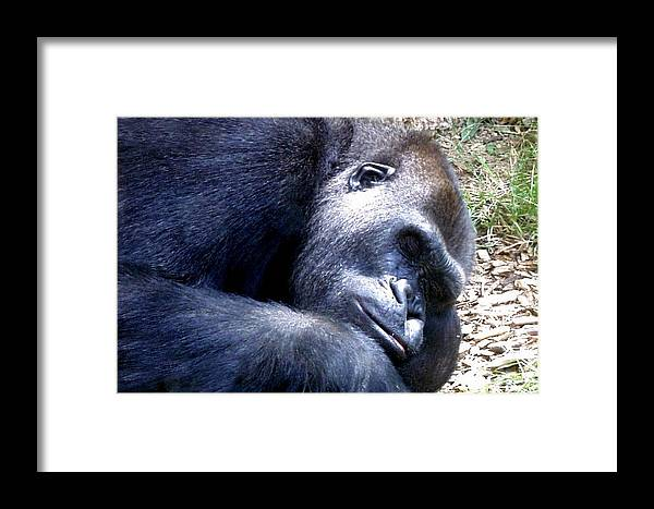 Colorado Zoo Framed Print featuring the photograph Gorilla by Marilyn Burton