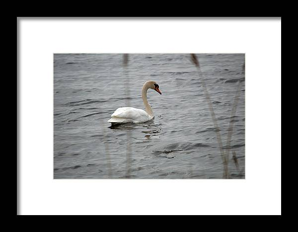 Swan Framed Print featuring the photograph Grace by Linda Kerkau