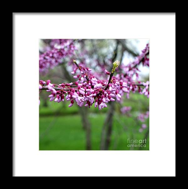 Redbud Framed Print featuring the photograph Grace by Valerie Fuqua