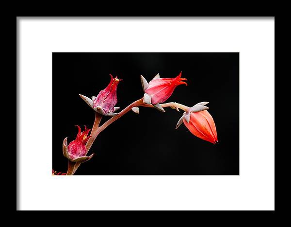 Flower Framed Print featuring the photograph Graceful by James Capo