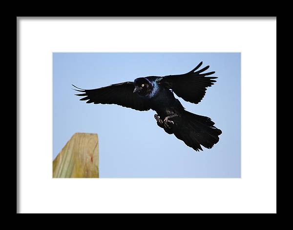 Grackle Framed Print featuring the photograph Grackle Landing by Paulette Thomas