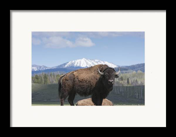 Bison Framed Print featuring the photograph Grand Tetons Bison by Charles Warren