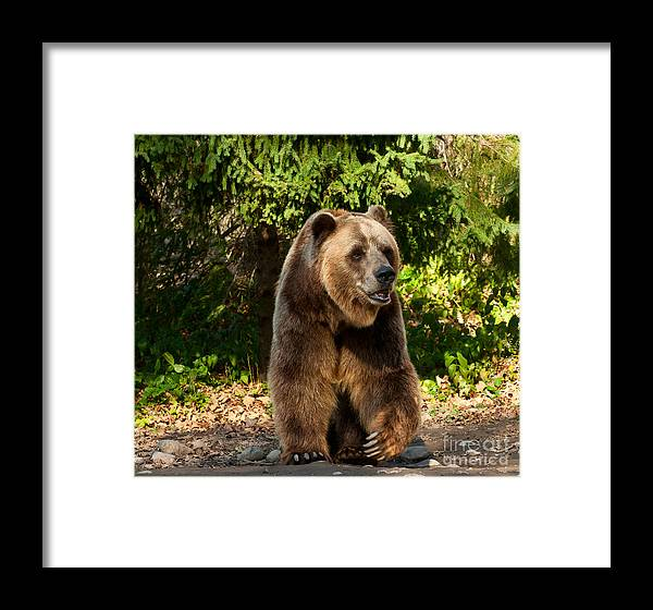 Grizzly Framed Print featuring the photograph Grandpa Bear by Les Palenik