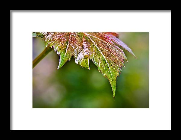 Lea Framed Print featuring the photograph Grape Autumn Leaf by Elvira Pinkhas
