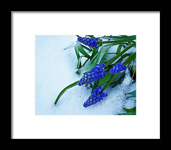 Grape Hyacinth Framed Print featuring the photograph Grape Hyacinths In Snow by Julie Magers Soulen