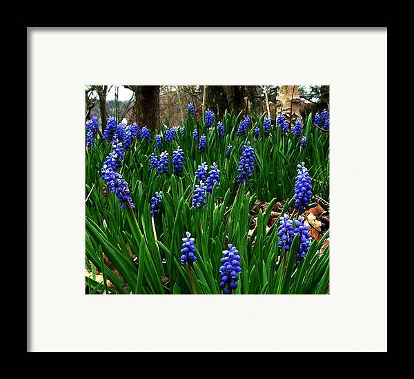Floral Art Framed Print featuring the photograph Grape Hyacinths by Julie Dant