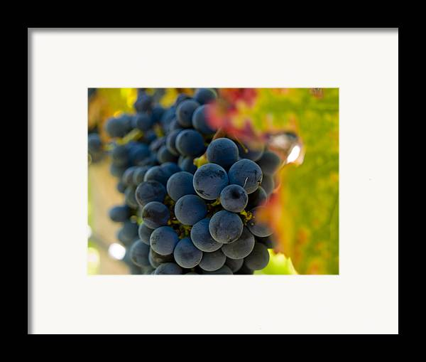 Grape Framed Print featuring the photograph Grapes On The Vine by Bill Gallagher