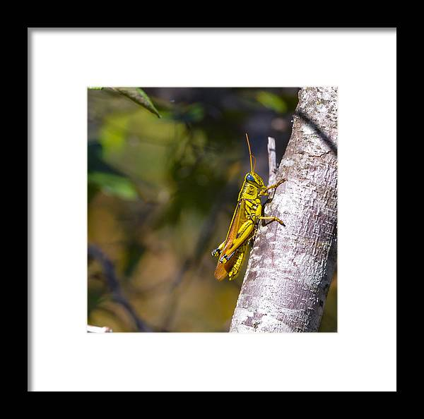 Grasshopper Framed Print featuring the photograph Grasshopper by John Johnson