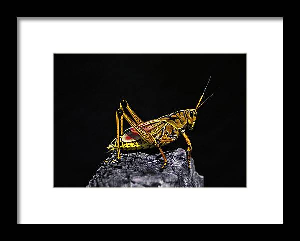 Animal Photography Framed Print featuring the photograph Grasshopper Portrait. Blue Cypress Lake by Chris Kusik