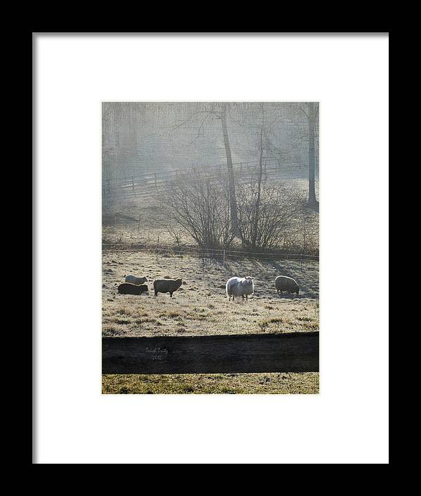 Farm Framed Print featuring the photograph Grazing The Frost by Trish Tritz