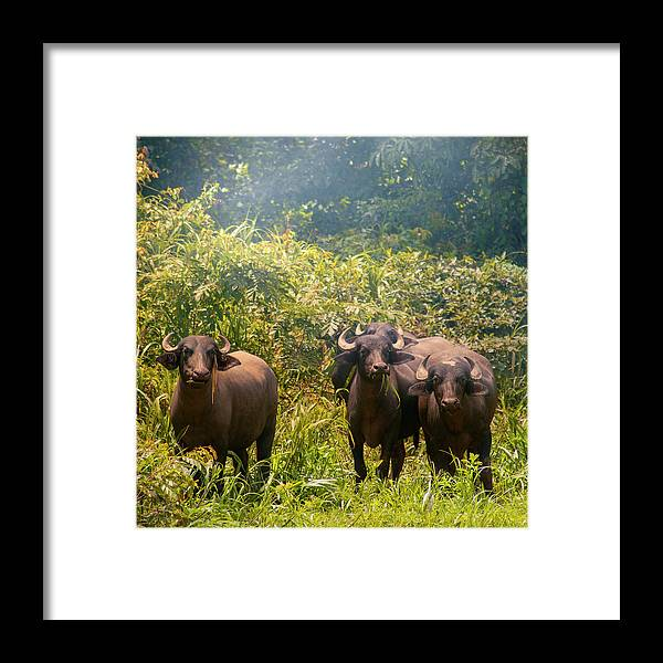 Animal Themes Framed Print featuring the photograph Grazing Water Buffaloes by Istvan Kadar Photography