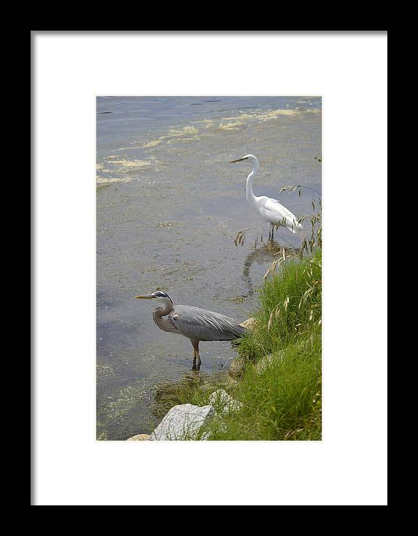 Nature Framed Print featuring the photograph Great Blue And White Egrets by Judith Morris