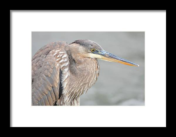 Bird Framed Print featuring the photograph Great Blue Heron 4 by Chris Post