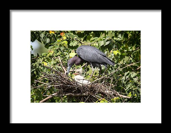 Heron Framed Print featuring the photograph Great Blue Heron Chicks In Nest by Gregory Daley MPSA