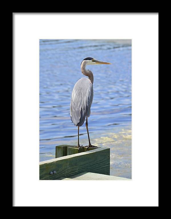 Wildlife Framed Print featuring the photograph Great Blue Heron by Judith Morris