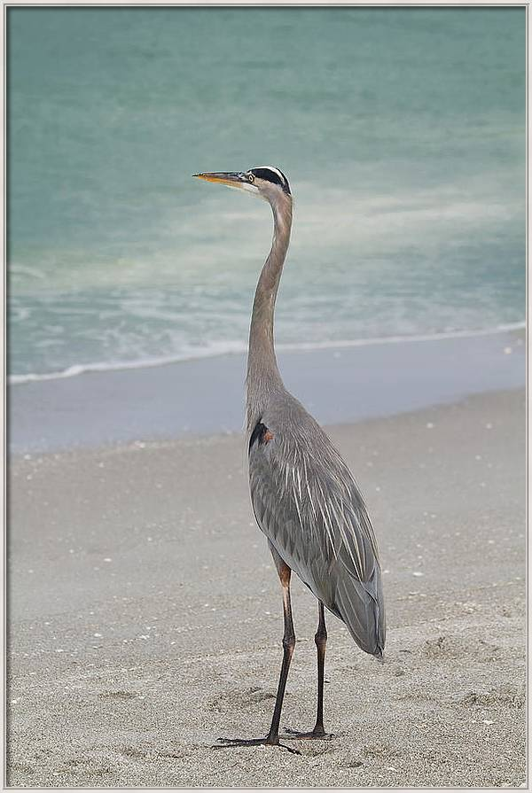 Great Blue Heron by Kim Hojnacki