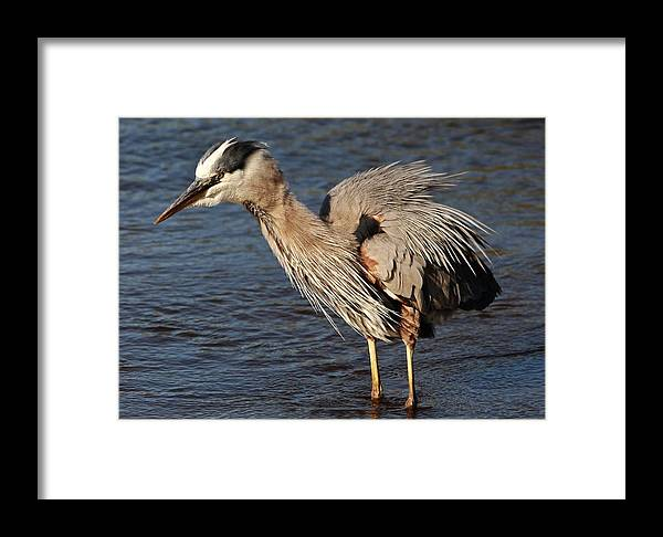 Heron Framed Print featuring the photograph Great Blue Heron Preening by Paulette Thomas