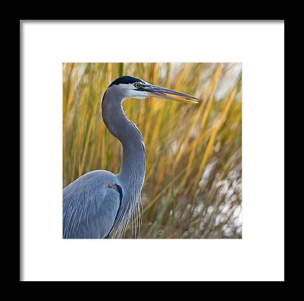 Red Framed Print featuring the photograph Great Blue Heron Square Image by Jack Nevitt