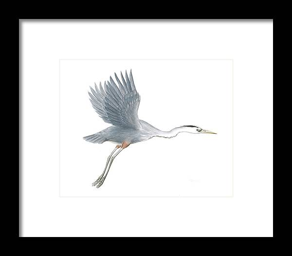 Great Blue Heron Framed Print featuring the painting Great Blue Heron Taking Off by Anna Bronwyn Foley