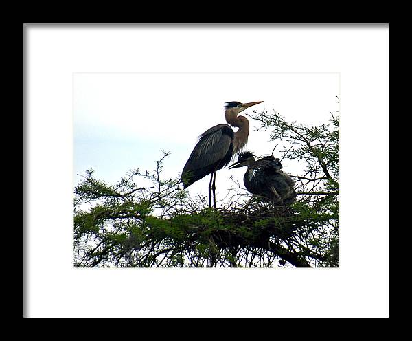 Blue Heron Framed Print featuring the photograph Great Blue Heron With Fledglings II by Suzanne Gaff
