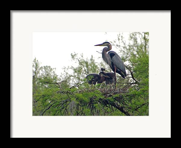 Great Blue Heron Framed Print featuring the photograph Great Blue Heron With Fledglings by Suzanne Gaff