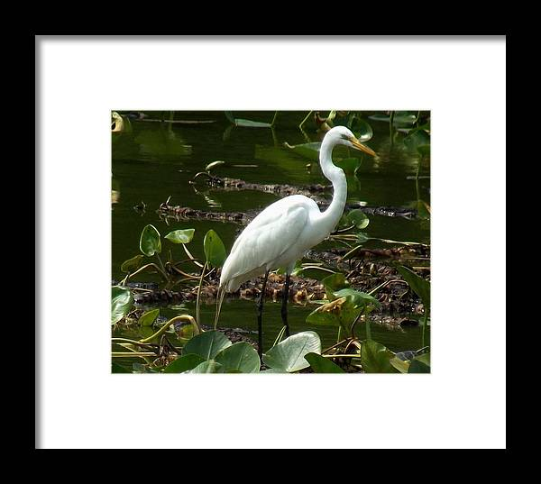 Egret Framed Print featuring the photograph Great Egret by Charleen Borchers