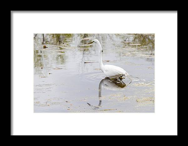 Alba Framed Print featuring the photograph Great Egret by Jack R Perry